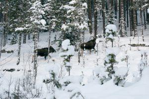 Elg på Rudiberga